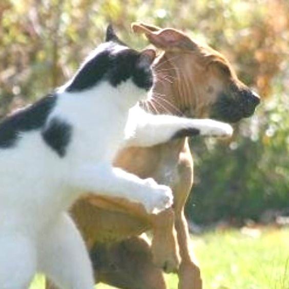OOOPPSS!! CAT HIT THE BOXER  PERFECT SHOT   IMG source: net #collarbuddies #collarbuddies #boxer #boxers #boxerdog #boxerdogs #boxerpuppies #boxerclub #iloveboxer #boxerbaby #boxersofinstagram #boxeraddict #boxerlove #boxerfriend #boxerworld #boxernation #boxergram #twitter #newton