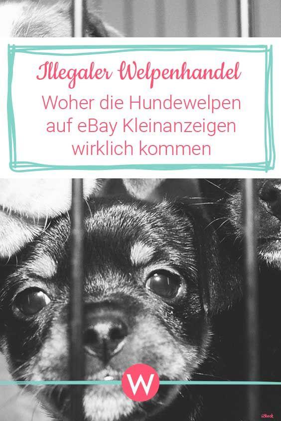 Illegaler Welpenhandel Auf Ebay Kleinanzeigen Tierschutzer Starten Aktion Dankeebay Welpen Ebay Kleinanzeigen Und Kleinanzeigen