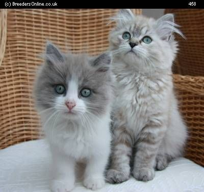 Ragamuffin, Sweet and Kittens on Pinterest