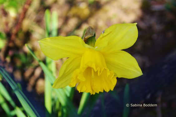 Frühlingsblüher # gelbe Osterglocke # Farbenreich