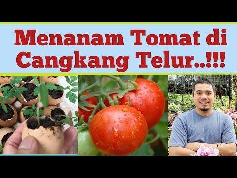 Menanam Tomat Di Cangkang Telur Agar Tomat Berbuah Lebat Cara Merawat Tanaman Tomat Youtube Tanaman Tomat Buah Menanam