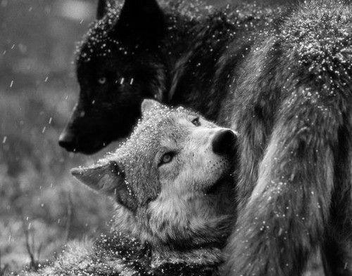 White Wolf And Black Wolf In Love black and white wolf p...