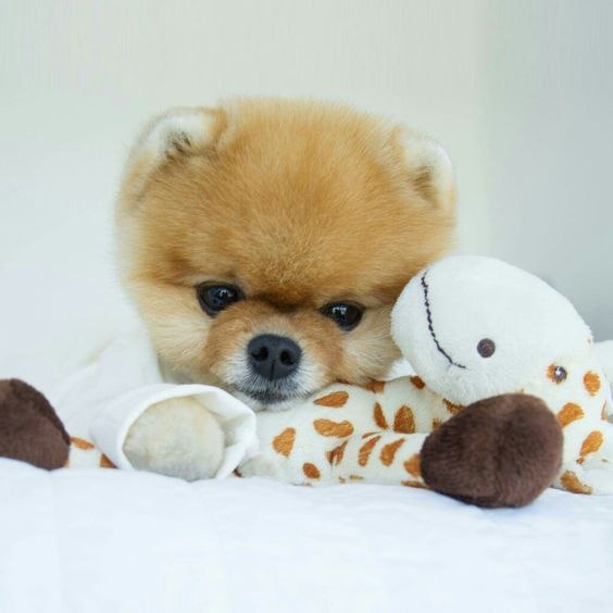 Pomeranian Resting Its Head On A Plush Toy Cute Baby Animals