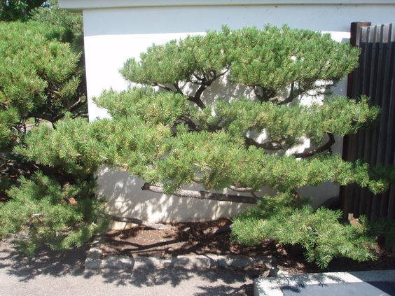 lodgepole asian personals Palomar college arboretum images 4  lodgepole pine (p  abundant fossil evidence of these magnificent trees dating back more than 100 million years has.