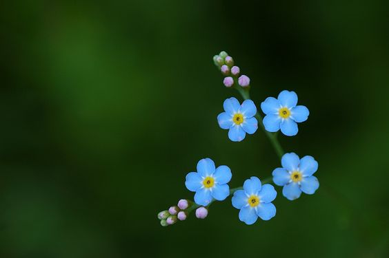 Forget-me-not.  Best photo!