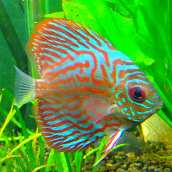 Discus fish red turquoise and discus on pinterest for Best place to buy discus fish