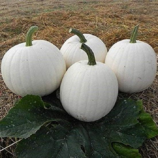 Pumpkin Seeds Casper White Pumpkin 25 Thru 200 Seeds Growing