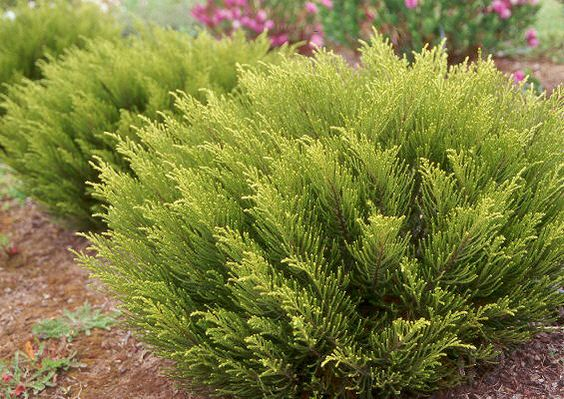 Evergreen shrubs shrubs and evergreen on pinterest for Tall evergreen shrubs