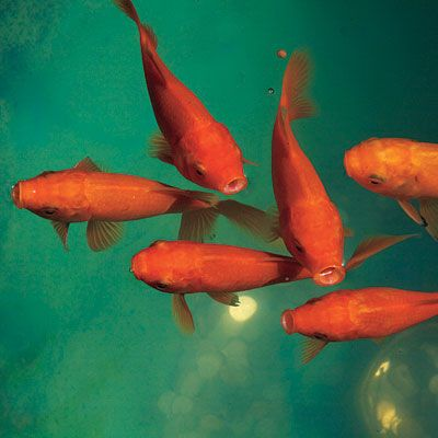 Goldfish ponds and the plant on pinterest for What fish can live with goldfish in a pond