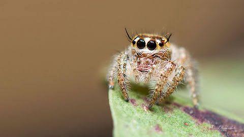 Spider おしゃれまとめの人気アイデア Pinterest A Brown ハエトリグモ とり 蜘蛛