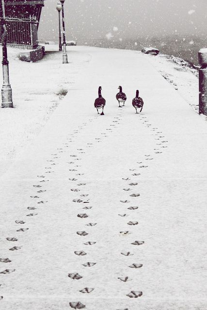 Ducks in snow with trail of duck prints - on Hello Lovely Studio #winterwonderland #adorableanimals