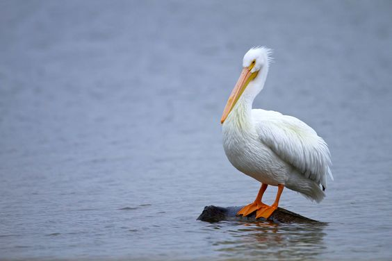 Young pelican in his fluffy glory