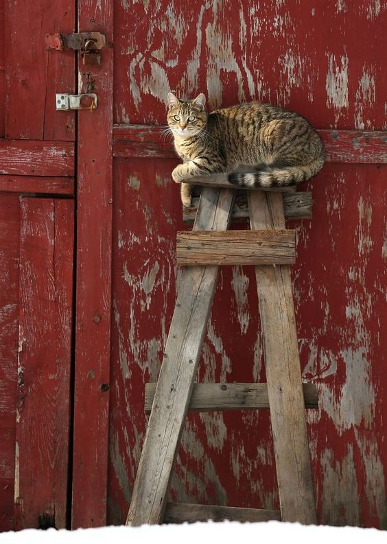 Warming herself in the sun, a tabby sits atop a crude ladder leaning against a barn in Scranton, Pa.