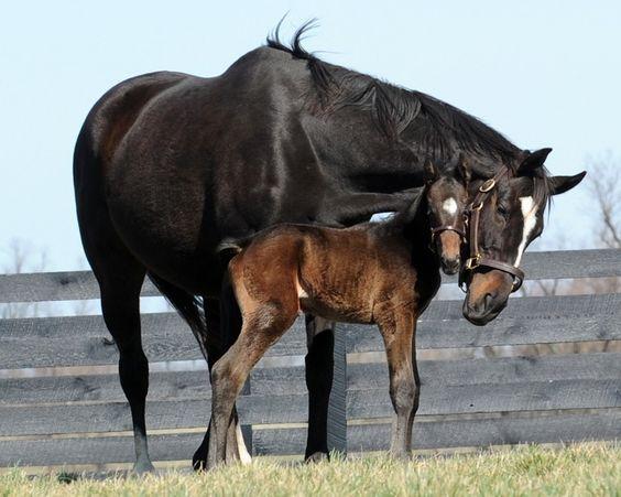 Champion racehorse Zenyatta with her foal. OMG so cute.