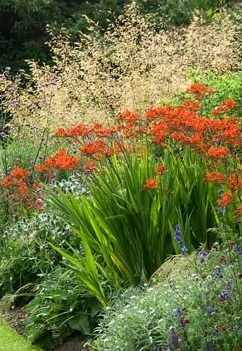 Summer border with Crocosmia 'Lucifer' and Stipa gigantea in July