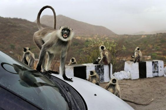 In this photo taken Sunday, May 12, 2013, a  wild gray  langur monkey scowls as it jumps on a car at a rest stop on a road near Leela, in the state of Rajasthan, India. http://avaxnews.net/fact/The_Week_in_Pictures_Animals_May_10-May_18_2013.html