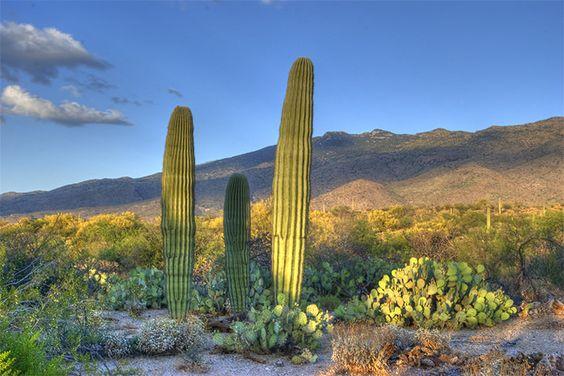 Cactus desert landscape saguaro national park tuscon arizona cat