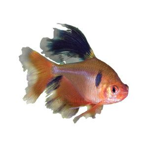 Long fin red minor tetra live fish petsmart cool for Petsmart fish sale