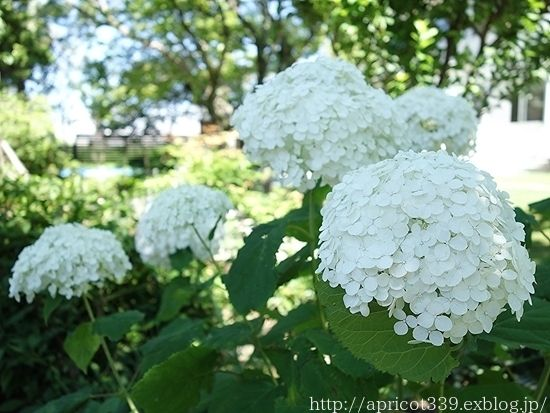 庭に咲いたアジサイ アナベルの花 アジサイ 庭 インテリア 収納