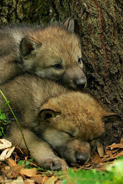 wolf pups: