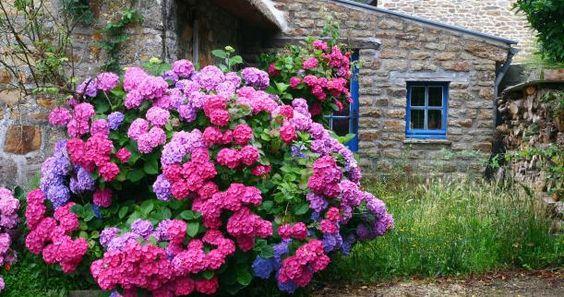 heaven blooms hydrangeas