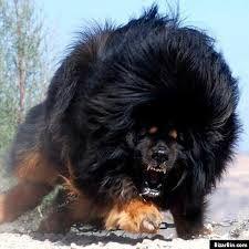 caucasian shepherd angry - Google Search | dog shit ...