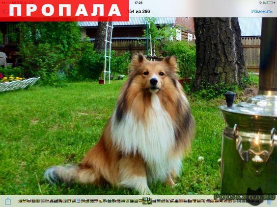 Пропала собака кобель г.Михнево http://poiskzoo.ru/board/read29133.html  POISKZOO.RU/29133 ПРОПАЛА СОБАКА! ..г. на дачах, в районе МОВИРа пропала собака, кобель, .. года, порода шелти (похожа на колли, но меньше ростом). Окрас рыжий, грудь белая. Откликается на кличку Эшли. Людей и животных боится. Большая просьба, сообщить, если обнаружите собаку. Вознаграждение гарантируем. Контактные телефоны: ... (Марина); ... (Дмитрий)  РЕПОСТ! @POISKZOO2 #POISKZOO.RU #Пропала #собака #Пропала_собака…