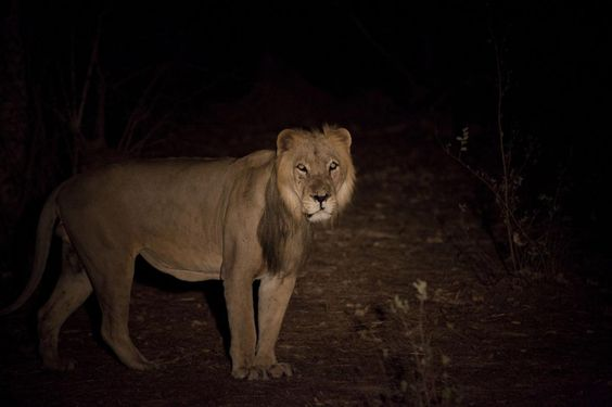 Lion numbers could be halved across Africa by 2035, study warns - Yahoo News