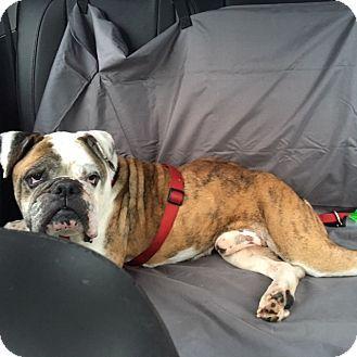 Columbus, OH English Bulldog. Meet Tank, a dog for