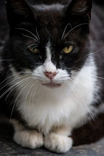 Old cat in Sant Pau/Viejo gato en Sant Pau