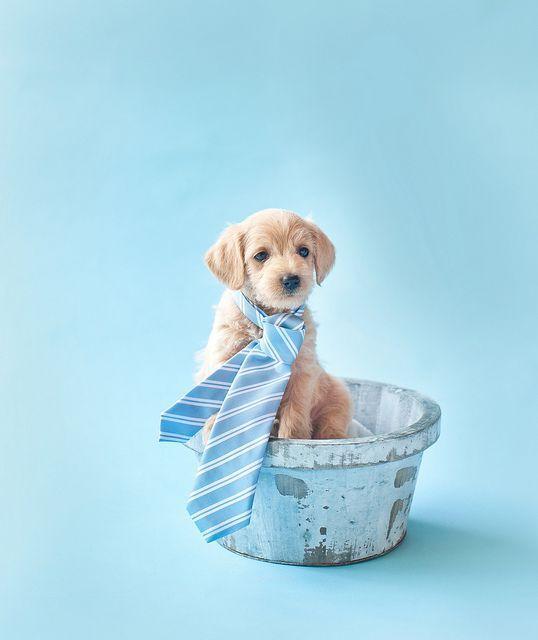 Growing Puppies Virginia Schnoodle Breeder Hypoallergenic Dogs Gallery Pug Puppy Litter Puppies Foster Dog