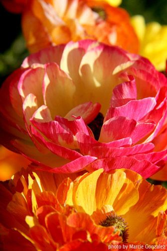Close up of pink and orange Ranunculus at The Flower Fields