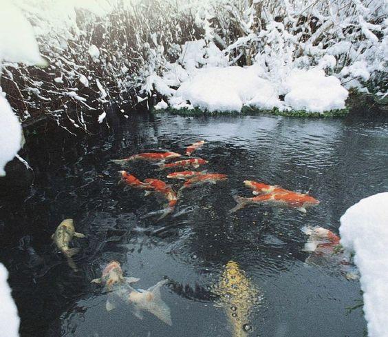 koi pond during winter
