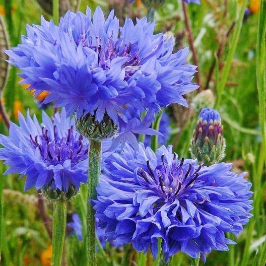 Cornflower Bachelor Button Tall Blue Seeds Bachelor Button Flowers Flower Seeds Bachelor Buttons