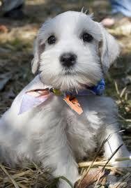 Resultados de la Búsqueda de imágenes de Google de http://cdn-1.dooziedog.com/dog_breeds/schnauzer_standard/images/full/Schnauzer-Puppy-(mini)-3.jpg