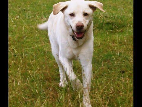 Labrador Retriever Puppies Worcestershire Labrador Delicious