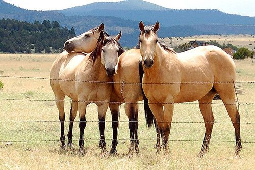 I want a buckskin. Well 2, one for me and one for ruby. ❤