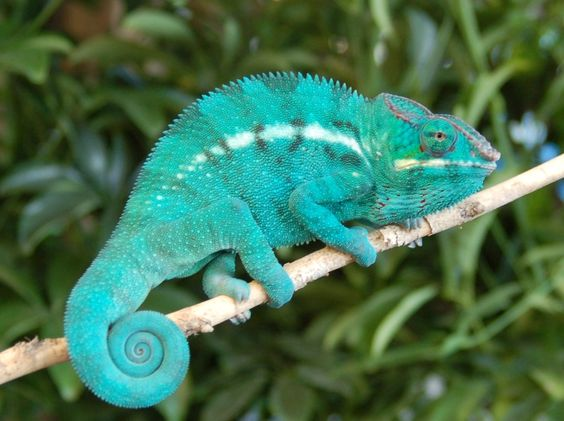 Red Panther Chameleon Nosy Be Panther Chameleon