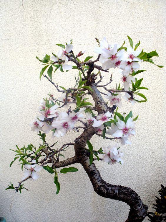 Almendro - (Prunus Dulcis)