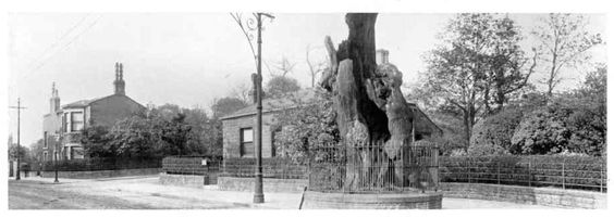 The Shire Oak or Skyrack to give it, the name from Anglo Saxon times, whether this was the original Shire oak from that time or a later oak from Norman to Angevin times is not certain, but it was the meeting place of the Wapentake of Elmete.  This photo is from circa 1900.