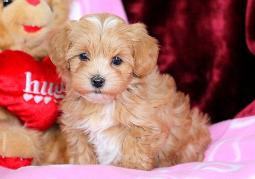 Morkie Poodle Miniature Mix Puppy For Sale In Mount Joy Pa Adn 60151 On Puppyfinder Com Gender Female Age 7 Weeks Puppies For Sale Morkie Puppies Morkie