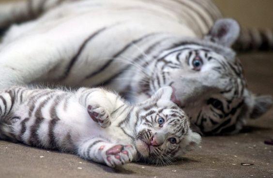 Weiße Tiger im Xantus Janos Zoo by DPA
