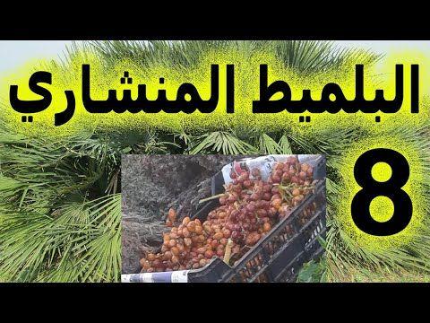 العشبة 8 من السلسلة التعريـفـية بالأعشاب الموجودة في المغرب البلميط المنشاري الدوم Youtube