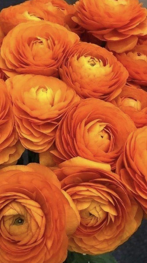 Orange Ranunculus Ranunculus Flower Wedding Flowers Flowers Near Me Orange Ranunculus Orange Wedding Flowers Spring Wedding Flowers