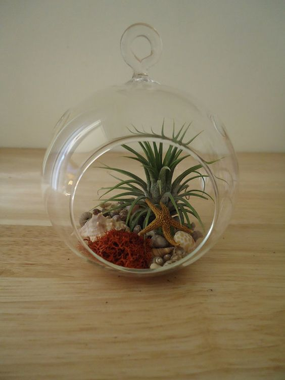 tillandsia air plante bromelia suspendus terrarium pr t pour gifting plants pinterest. Black Bedroom Furniture Sets. Home Design Ideas