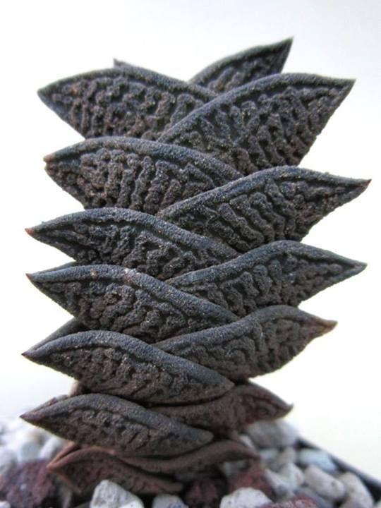 Succulent Plant Information: Haworthia nigra v. diversifolia, Merweville: