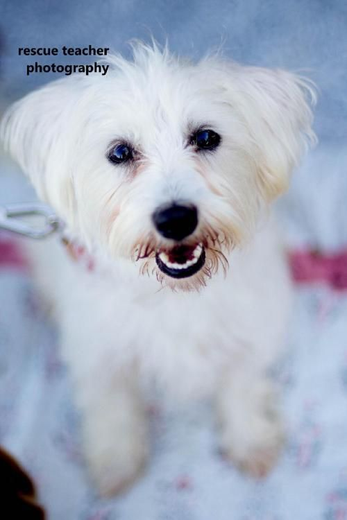 Maltese Mix Dallastexas Dallas Texas I Need A Home Maltese Dogs