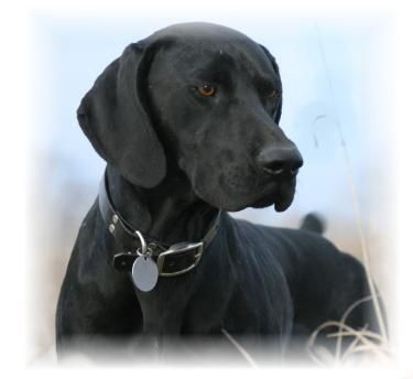 Solid black german shorthair pointer | German shorthaired ...