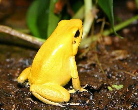 Golden Poison Dart Frog Poison Dart Frogs Poison Frog