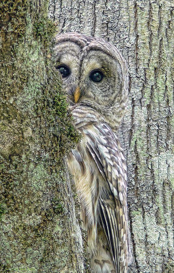Barred Owl - http://fineartamerica.com/featured/barred-owl-peek-a-boo-jennie-marie-schell.html